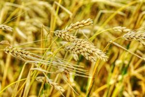 GMO wheat has been found growing in Oregon.