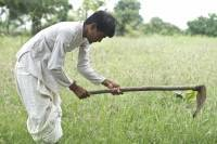 Suicide is an epidemic among Indian farmers. Is there a GMO connection?