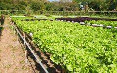 A lettuce farm like this represents the agriculture of the future.