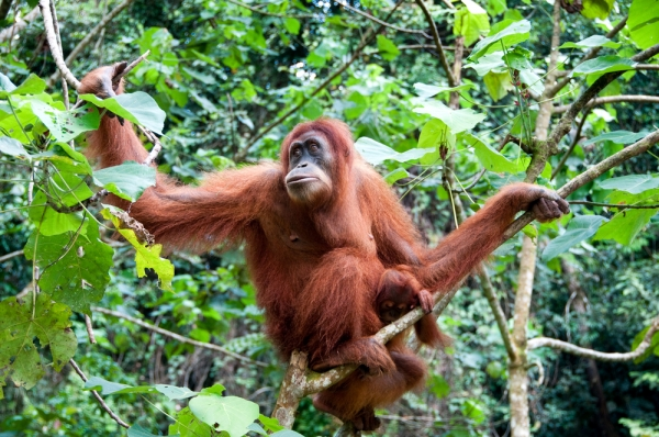 Orangutans are just one of the rare creatures destined to suffer if the rainforest in Aceh, Indonesia gets rezoned.