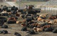 Feedlots like this feed both our addiction to cheap beef and accelerate the earth towards an environmental disaster.