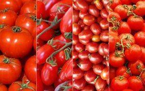 The tomato is a plant with many different strains