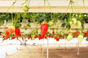 Hydroponic strawberries are soon to abound in Arkansas.