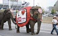 "A circus elephant carrying a banner promoting ""Indians"" = double whammy of political incorrectness."