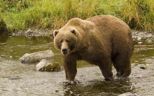 An endangered grizzly bear population is at serious risk if Taseko ever succeeds in destroying Fish Lake and developing Prosperity Mine.