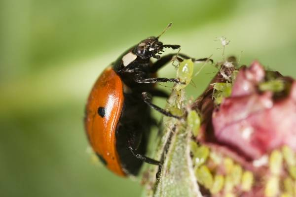 Ladybugs take care of problem insects in your grow room, just like this one is doing to an aphid.