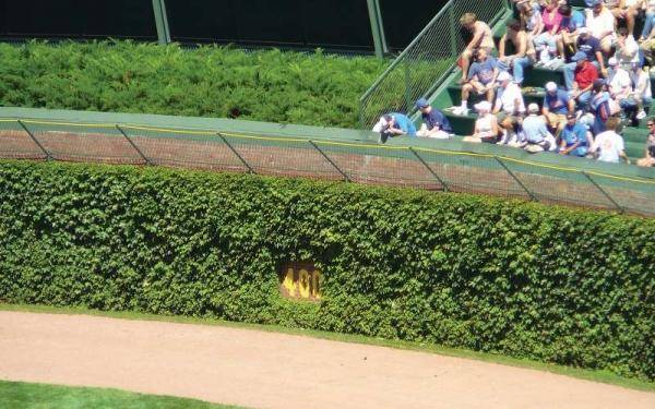 The Chicago Cubs are one of baseball's longest suffering teams, but at least the ivy in the outfield looks nice.