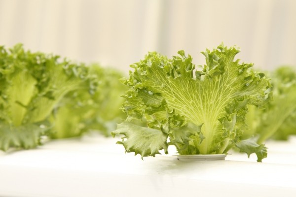 Lettuce is one of the easiest crops to grow hydroponically.