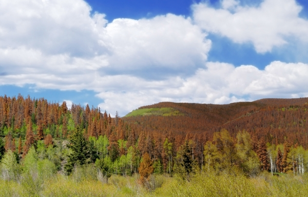 The discoloured trees show damage done by pine beetles.