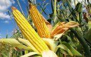 Is it time for the US government to stop subsidizing corn farmers?