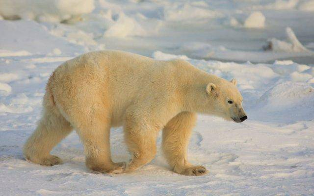Polar Bears are one of several species at risk due to global warming and climate change.