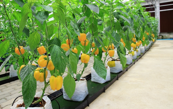 Hydroponic bell peppers like these may soon be available on a mass scale.