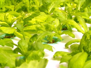 Preschoolers in Florida are learning to grow hydroponic basil.