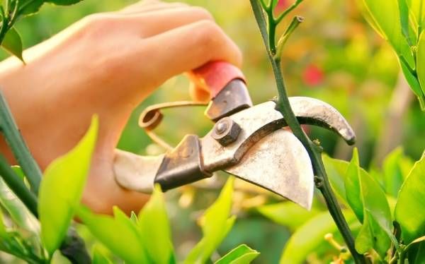 Pruning is one aspect of manipulating and training your plants for optimal harvests.