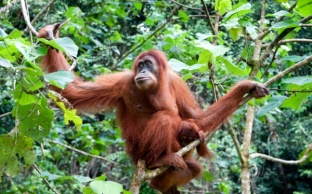 Mining Company Plans to Destroy Precious Rainforest, Killing of Tigers & Orangutans