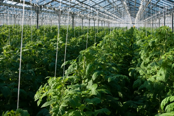 A huge urban space is about to be converted into a hydroponic tomato growing facility.