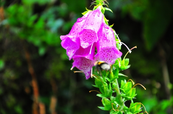 Fox Glove can be deadly to pets.