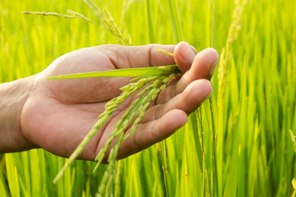 Will GMO rice save the third world? There's reason to be skeptical.