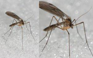 Beware the evil fungus gnat that hurts your hydroponics garden